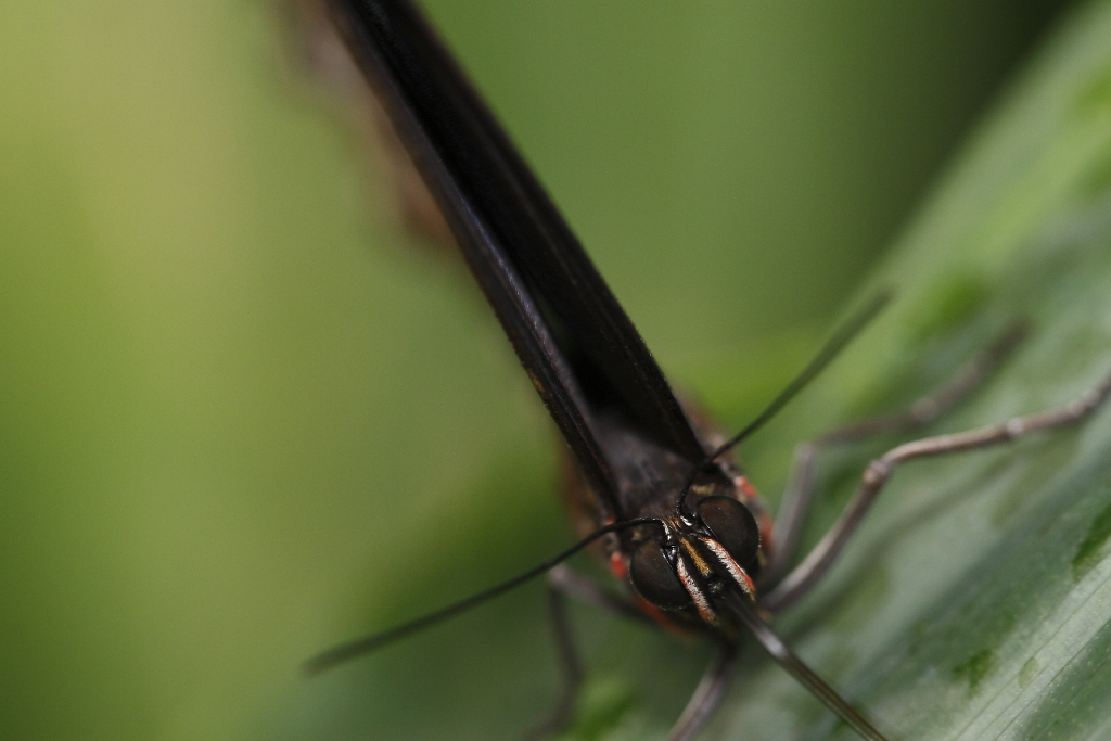 costa rica butterfly close-up