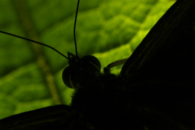 costa rica butterfly silhouette