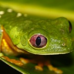 costa rica green frog